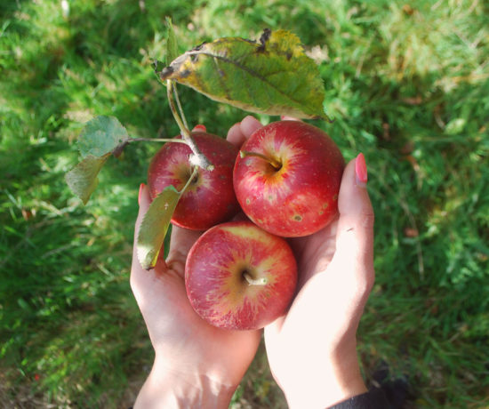 Apple Picking in Kent